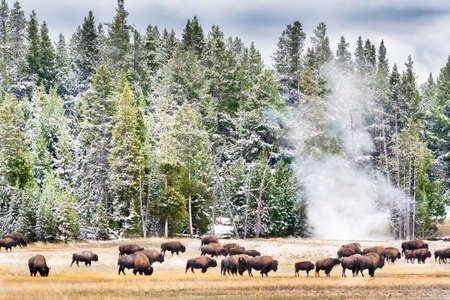 Feeding buffalo in Yellowstones Geyser Basin with billowing steam and snow covered pines in the background Stock Photo