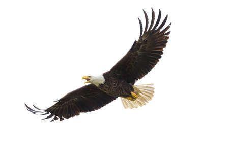 Majestic Texas Bald Eagle in flight against a white background Stock Photo