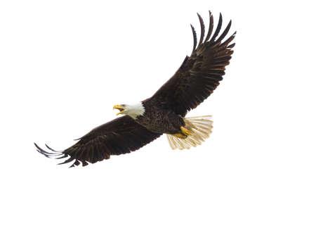 Majestic Texas Bald Eagle in flight against a white background Standard-Bild