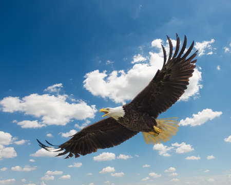 white flight feathers: Majestic Texas Bald  Eagle in flight against a beautiful blue sky Stock Photo