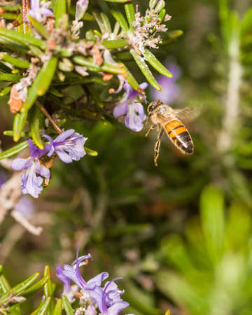 feasting: Pollen-spotted bee feasting on purple rosemary bush flowers