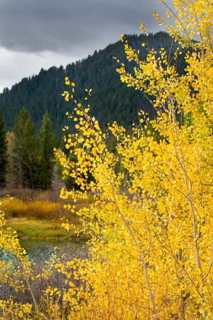 dreary: Dreary afternoon view of golden aspens on the Snake River in Grand Teton National Park, WY Stock Photo
