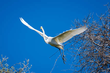 talons: Giant Egret in flight coming in for a tree landing