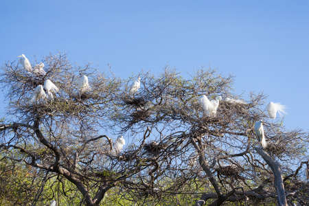 and egrets: Large colony of great egrets guarding their treetop nests
