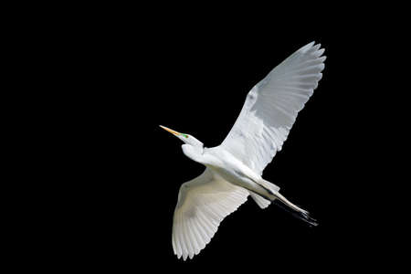 black feathered: Giant Egret in flight isolated on a black background