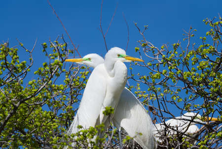 and egrets: Pair of adult egrets guarding their nest during mating season