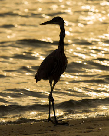 blue heron: Great Blue Heron silhouetted against the ocean at dusk Stock Photo