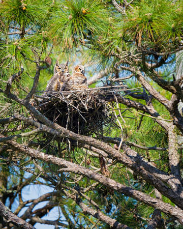 guarding: Two adult owls guarding their nest in Florida