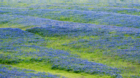 objects: Open meadow containing numerous bluebonnets