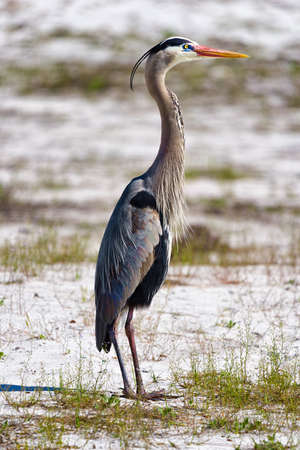 Great Blue Heron photographed in profile facing into the morning sun Stock Photo