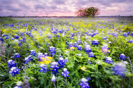 wind blown: Open meadow containing numerous bluebonnets blowing in the wind at sunrise