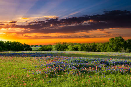 Texas pasture filled with bluebonnets and Indian paintbrushes at sunset Stock Photo