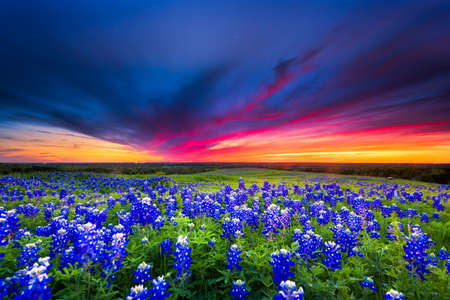 red sunset: Texas pasture filled with bluebonnets at sunset