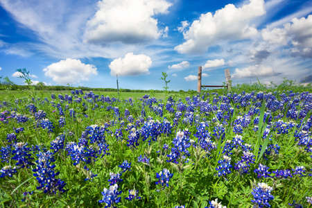 Bluebonnets on display in rural Texas on a sunny spring afternoon