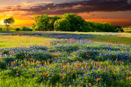 Bluebonnets and Indian paintbrushes in late afternoon light Stock Photo