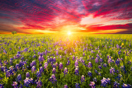 sunrise field: Rural Texas bluebonnets and sunflowers at sunrise Stock Photo