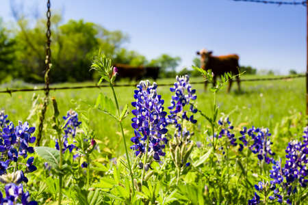 cattle wire: Texas bluebonnets in front of a rural pasture with cattle in the background