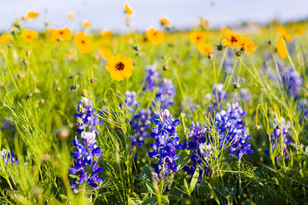 Texas bluebonnets and sunflowers on a sunny spring morning