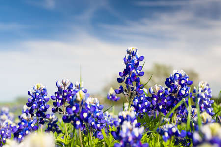 Texas bluebonnets on a sunny spring afternoon