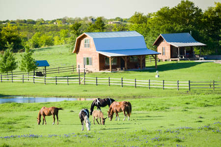 pond: Farm animals grazing in  a lush bluebonnet-filled field in Texas Stock Photo