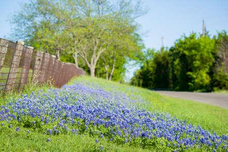 green ridge: Texas bluebonnets framing a rural Texas Road