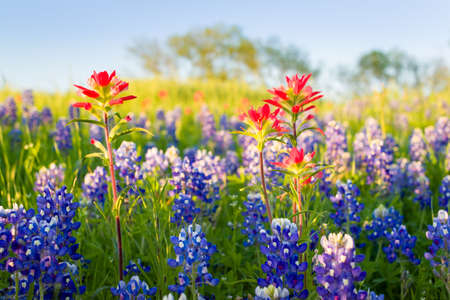 bathed: Bluebonnets and Indian paintbrushes bathed in late afternoon light