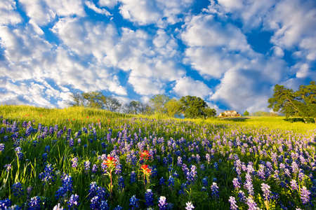 Bluebonnets and Indian paintbrushes on display in rural Texas on a sunny spring afternoon