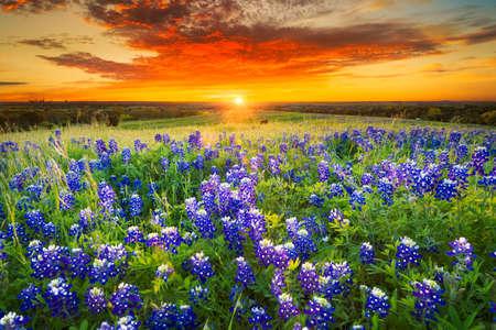 sol radiante: Tejas pasto lleno de bluebonnets al atardecer
