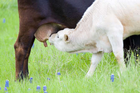suckling: Young calf suckling from its mothers udder in a filed of Texas Bluebonnets