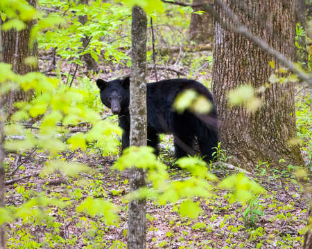 great smoky mountains: Adult black bear in the Smoky Mountains giving the photographer a menacing look Stock Photo