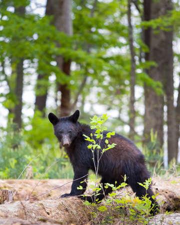 oso negro: Oso negro joven en las Montañas Humeantes dando al fotógrafo una mirada amenazadora