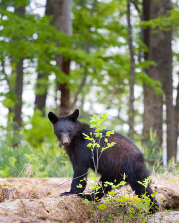 menacing: Young black bear in the Smoky Mountains giving the photographer a menacing look
