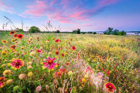 campo de flores: flores silvestres de Texas de colores en la luz del amanecer temprano Foto de archivo