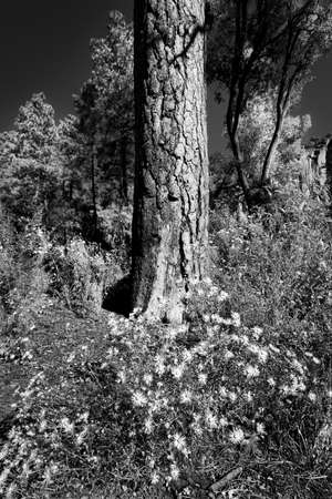 nm: Collection of asters at the base of an old tree in Bandelier, NM