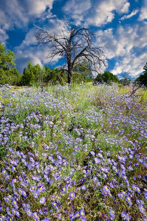 nm: Huge meadow full of blooming purple asters in Bandelier, NM