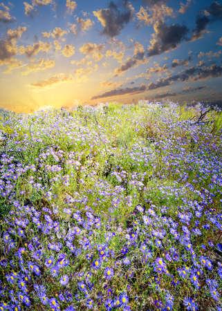 purple flower: Huge meadow full of blooming purple asters in Bandelier, NM