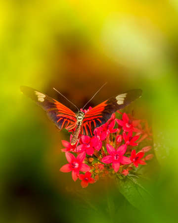 longwing: Colorful Doris Longwing butterfly resting on bright red penta flowers