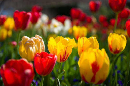 Vivid collection of tulips in a Texas garden on sunny spring day