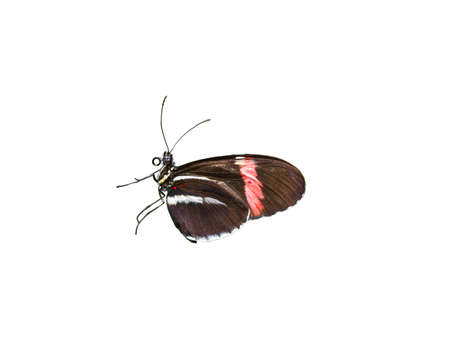 longwing: Colorful Doris Longwing butterfly isolated on a white background Stock Photo