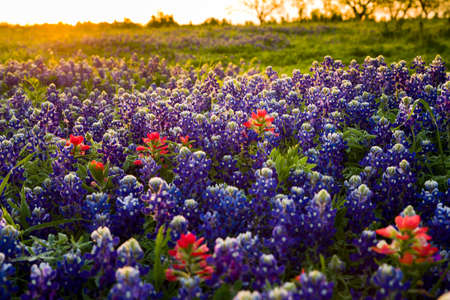 bathed: Vivid bluebonnets and Indian paintbrush wildflowers bathed in early morning light Stock Photo