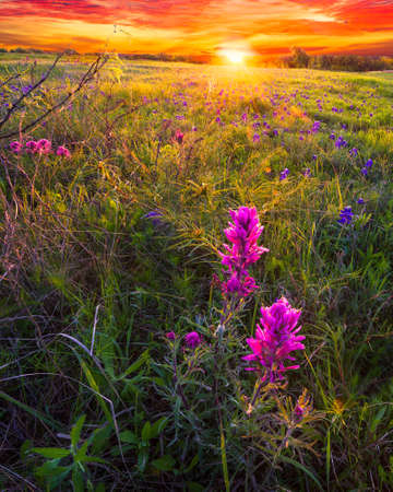 bathed: Indian paintbrushes and bluebonnets bathed in early dawn light