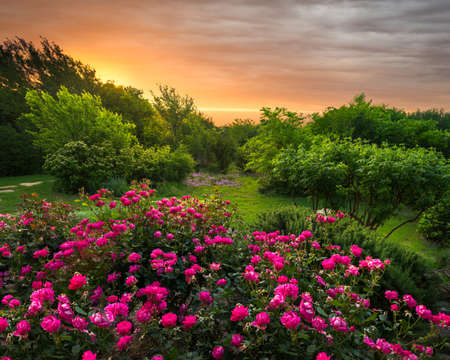 fort worth: Rural countryside landscape featuring pink roses bathed by early morning light