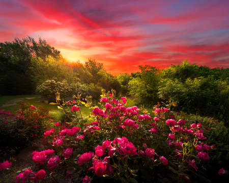 bathed: Rural countryside landscape featuring pink roses bathed by early morning light