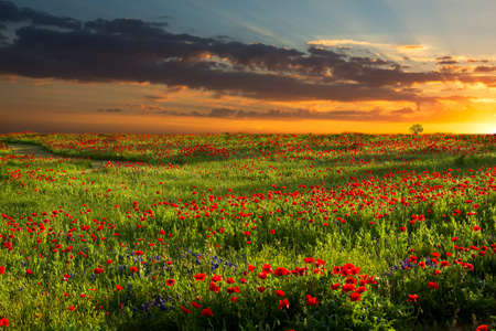 Brilliant red corn poppies growing in rural Texas captured at sunrise Stock Photo