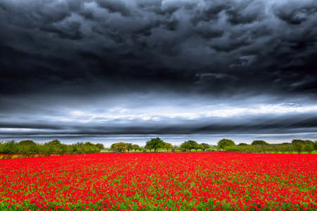 dark clouds: Brilliant red field of red corn poppies in the Texas hill country