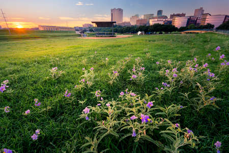 fort worth: Stunning summer sunrise over a large field containing meadow pink wildflowers fronting downtown Fort Worth, TX Stock Photo