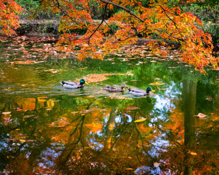 autumn colour: Colorful Texas wood ducks cruising a pond lit by reflections from golden autumn foliage