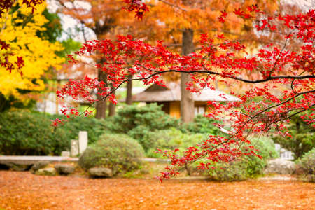 A burst of fall color featuring red Japanese Maple leaves Reklamní fotografie