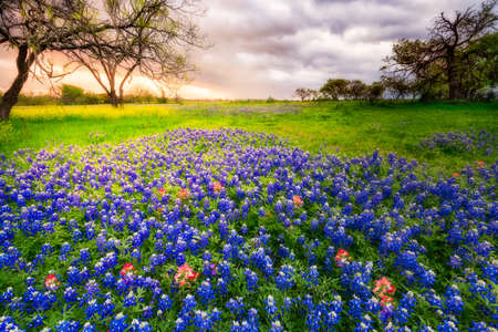Bluebonnets covering a rural field on a cloudy spring day in Texas
