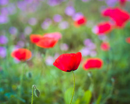 Narrow-focus view of a red corn poppy in a vibrant Texas wildflower field Stock Photo